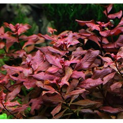LUDWIGIA SP MINI SUPER RED
