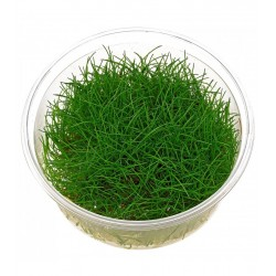 ELEOCHARIS SP MINIMA (IN VITRO CUP)