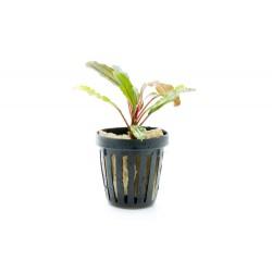 Bucephalandra IO GREEN